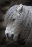 Side face portrait of a small gray horse.
