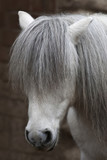 The head of a small gray hairy horse.