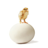 Newborn chick on ostrich egg