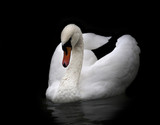 Portrait of a mute swan, isolated on black background.