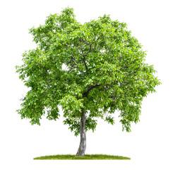 Freigestellter Walnussbaum vor einem weißen Hintergrund