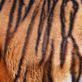 Fragment of a Siberian tiger skin.