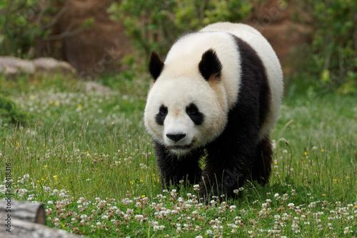 Foto op Plexiglas Panda panda-2