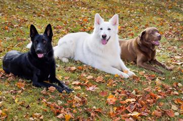 Drei Hunde auf der Herbstwiese
