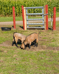 Pygmy goats in a pasture