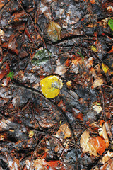 Yellow fallen autumn leaves on the ground