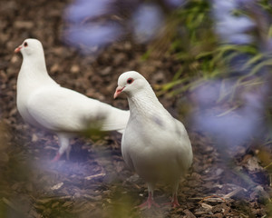 white doves in garden