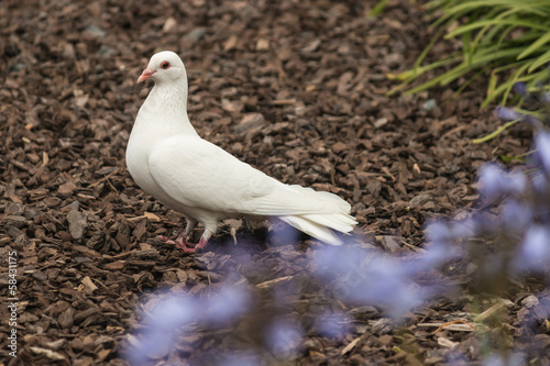 white dove standing on ground