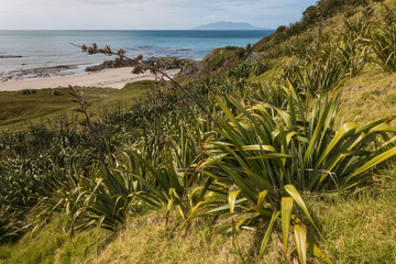 New Zealand flax growing on slope above Omaha Bay