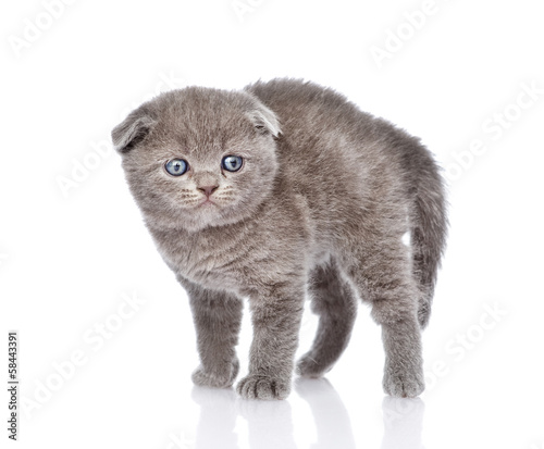 frightened british shorthair kitten. isolated on white