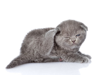 british shorthair kitten scratching. isolated on white