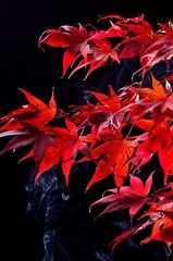 Japanese maple tree  (Acer palmatum) on black