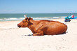 a cow tans on the beach