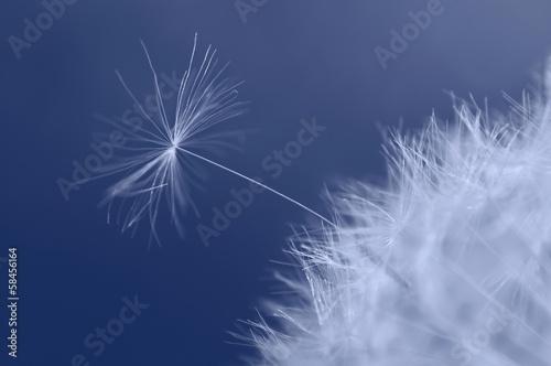 Little dandelion seed trying to break free