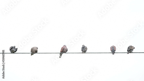 Pigeon on cable wires