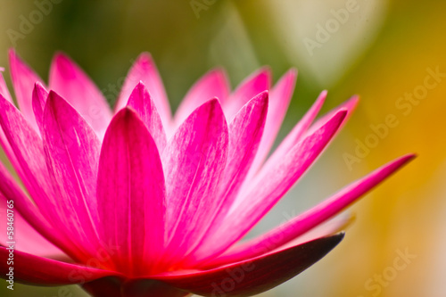 beauty of lotus