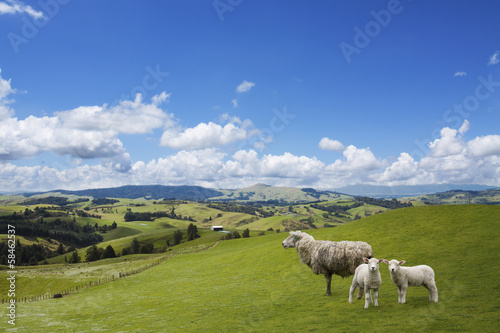 Fotobehang Nieuw Zeeland Sheep and two lambs grazing