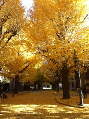 Ginko trees in the University of Tokyo