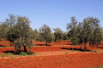 Olive grove near Fuente del Piedra, Spain © Arena Photo UK