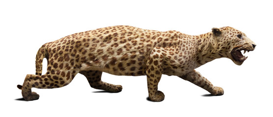 Walking adult leopard. Isolated over white