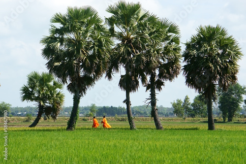 Palm tree on rice field