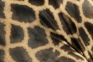 Giraffe, Giraffa camelopardalis,