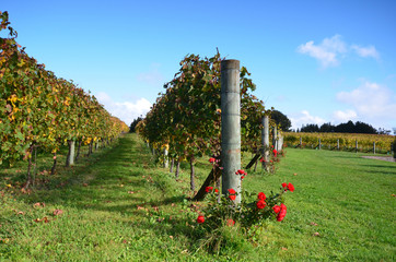 Vineyards Estate Winery Soljans. Auckland. New Zealand.