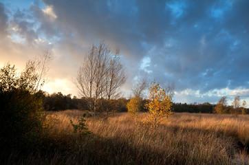 orange birch trees in warm sunset light
