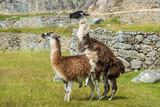 Llamas  Machu Picchu ruins peruvian Andes  Cuzco Peru