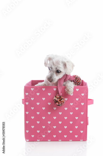 Puppy dog in love heart box