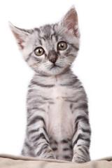 gattino verticale in piedi con le zampe anteriori