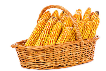 Harvested corn in a basket on white background