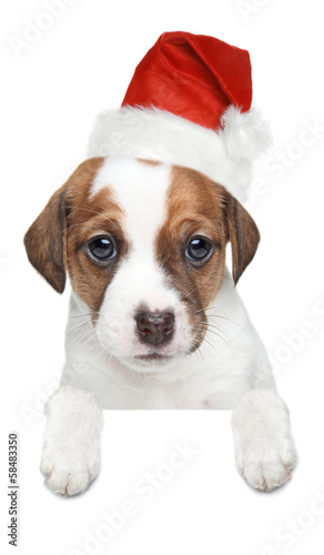 Jack Russell terrier puppy in xmas red hat