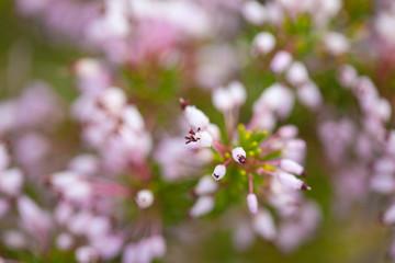 flowering Erica