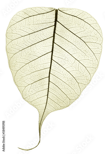 one grey green transparent dried fallen leaf