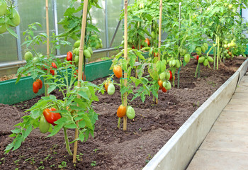 Many bushes of tomatoes in the greenhouse