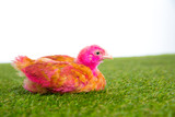 chicken chick hen pink painted on turf grass