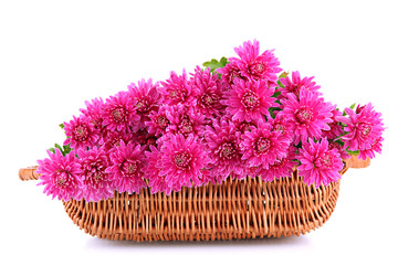 Bouquet of pink autumn chrysanthemum in basket isolated on