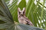 Collared scops owl, Bird of Thailand