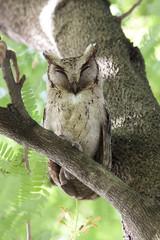 Collared scops owl, Bird of Thailand