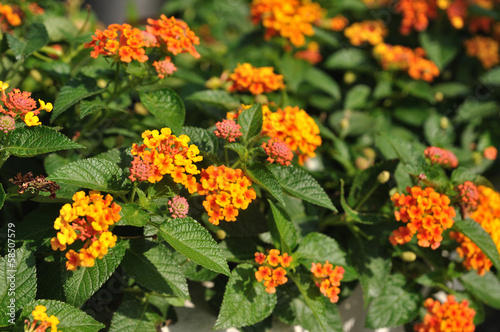 Beautiful Weeping lantanas in garden