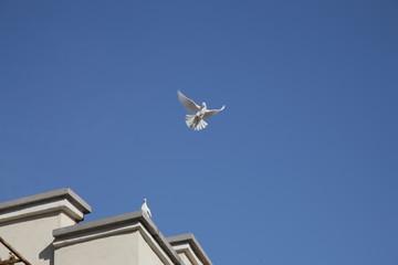 Bird of Peace White Dove