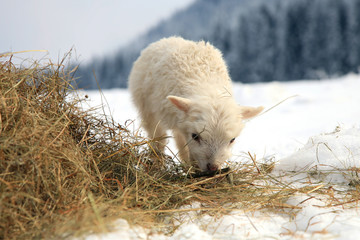 Lamb eating hay on meadow covered with snow.