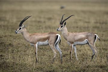 Grant's gazelle, Gazella granti