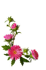 Asters composition