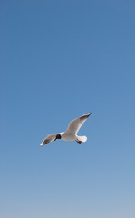 Flight of a gull in a cloudless sky