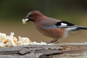 european jay attracted with bread