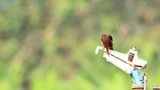White Throated Kingfisher 2