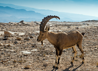 The wild goat - Carpa aegagrus (male)