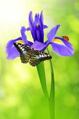 purple iris flower with butterfly and ladybug